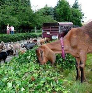 Goats at work, a la Rent-a-Ruminant