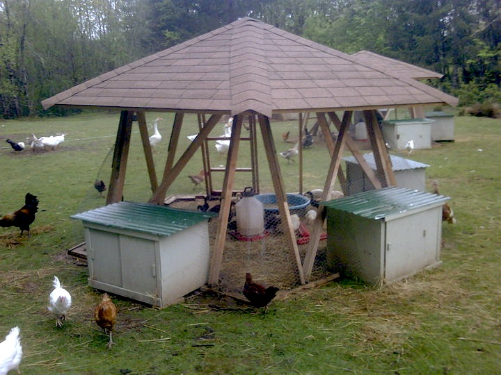 Miscellaneous Chickens around a Brood House
