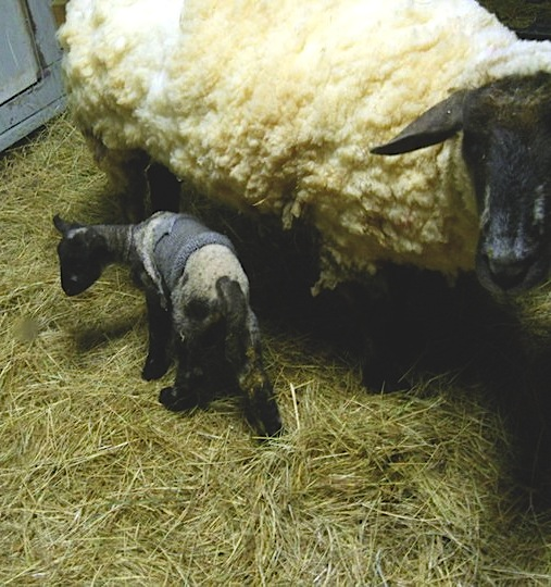Gotland Ewe and Lamb at Healing Ponds Farm
