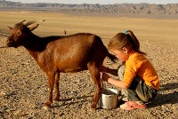 Child Milking a Goat