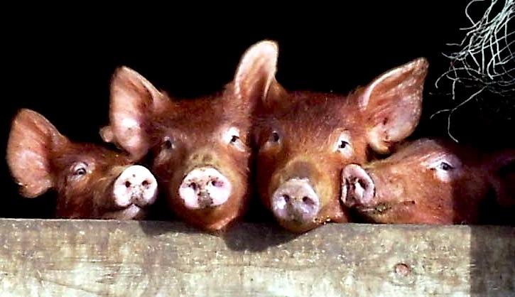 Happy piglets!