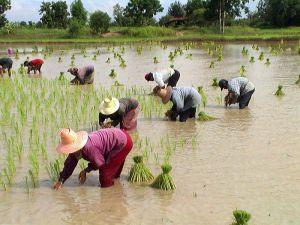 Farming Rice in Thailand